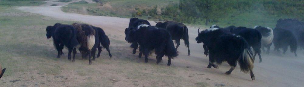 A herd of Yaks in Gorkhi-Terelj National Park , Mongolia